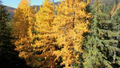 Aerial - Yellow Tamarack Trees in Fall Stock Footage