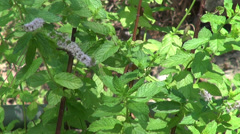 Bees collecting pollen from flowers of mint, bumble bee, garden, herbs Stock Footage