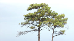 Pinus brutia, the Turkish pine. Greece. Stock Footage