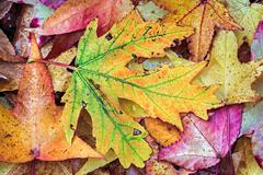 Intensely Colorful Fall Foliage - stock photo