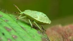 Green bug on leaf, Macro Stock Footage