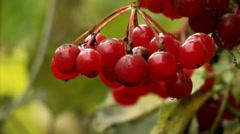 Red berries of Viburnum Stock Footage