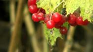 Stock Video Footage of Leaves and berries of Viburnum