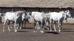Beautiful white Lipizzaner horses Stock Footage