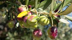 Stock Photo of Olives on tree