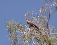 Black Kite (Milvus migrans) in treetop + zoom in Stock Footage