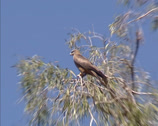 Stock Video Footage of Black Kite (Milvus migrans) in treetop + zoom in