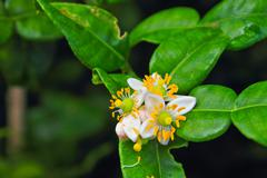 flower of bergamot fruits on tree - stock photo