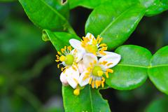 Flower of bergamot fruits on tree Stock Photos