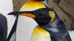 King penguin Stock Footage
