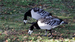 Two feeding geese goose in the grassy field eating on the grass Stock Footage