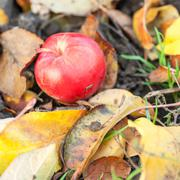 Red ripe apple on the ground Stock Photos