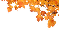 Maple Tree in Fall on White - stock footage