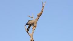 Bird Gymnogene on tree eating insects SloMo 03 Stock Footage