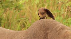 Red Billed Oxpecker pecking on rhino's back 03. Filmed in Kruger National Park, Stock Footage