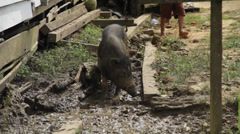 Pig in Mud, Indonesia Stock Footage