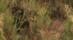 Buffalo Bull eating Reeds in Riverbed Stock Footage