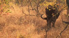 Buffalo eating Dry Grass from back slomo WS Stock Footage