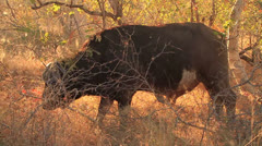 Buffalo eating Dry Grass slomo Stock Footage