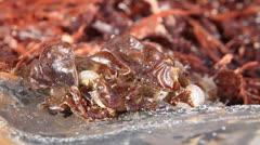 CU Sand Hoppers in Seaweed Stock Footage