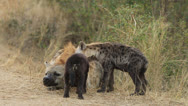 Stock Video Footage of Hyena Cubs Submissive Behavior to Mum