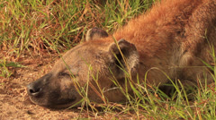 Hyena MS resting and head up (we film with permission inside National Parks, Stock Footage