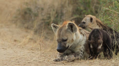 Hyena Mum and Pups at Den Site 02 Stock Footage