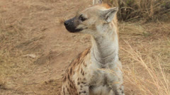 Hyena Mum Looking and Pup emerges Stock Footage