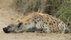 Hyena Mum sleeping at Den Site Stock Footage