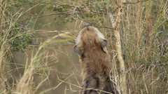 Hyena Pup smelling branch Stock Footage