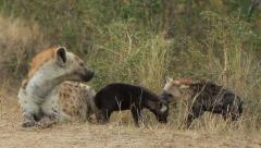 Hyena Pups playing and rare footage of Mother snapping Stock Footage