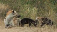 Stock Video Footage of Hyena Pups playing and rare footage of Mother snapping