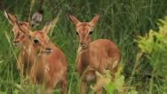 Stock Video Footage of Baby African gazelles (Impala - Aepyceros melampus) in the Kruger National Park,