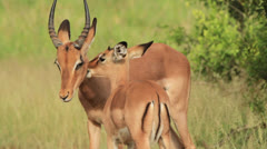 Juvenile African antelope (Impala - Aepyceros melampus) licking its mother's - stock footage