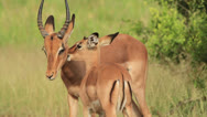 Stock Video Footage of Juvenile African antelope (Impala - Aepyceros melampus) licking its mother's