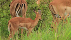 Juvenile African antelope (Impala - Aepyceros melampus) eating grass while other Stock Footage