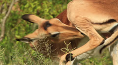 Close-up of an African antelope (Impala - Aepyceros melampus) licking its itchy - stock footage
