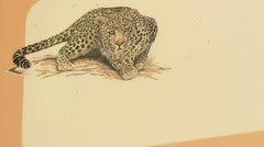 KNP Sightings Board Leopard (we film with permission inside National Parks, Stock Footage