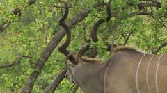 MS kudu bull (Tragelaphus strepsiceros) eating grass in the Kruger National Stock Footage