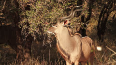 Kudu Bull in Forest walks past camera Stock Footage