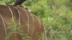 Shot of kudu bull (Tragelaphus strepsiceros) skin while camera moves across its Stock Footage