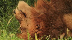 Lion Male lying on his back CU Stock Footage