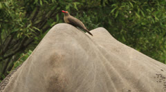 Red Billed Oxpecker on Rhino Stock Footage