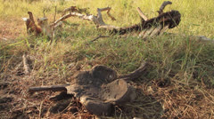 Rhino Poached Carcass Stock Footage