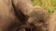 Rhino White lying down with Leg up MS Stock Footage