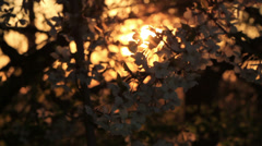 Cherry Blossoms or Sakura flowers Spring flowers at sundown Stock Footage