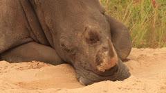 Rhino White Lying on Sand with Oxpecker WS Stock Footage