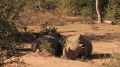 Rhinos lying in shade one rolls over KNP Stock Footage