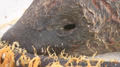 Sand Hoppers on Carcass Face Stock Footage