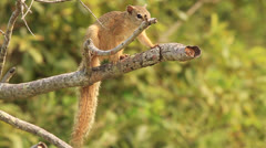 Tree squirrel on branch CU Stock Footage